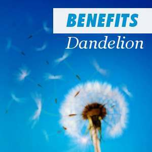Benefits of consuming Dandelion