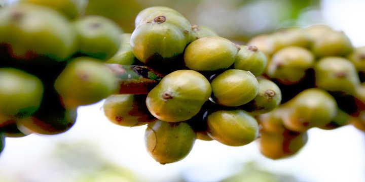 Grãos de Café Verde